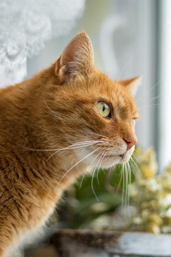 Pfote drauf-Tierhilfe e.V. Trier, Katze, männlich, rot-getigert, alt, glücklich vermittelt